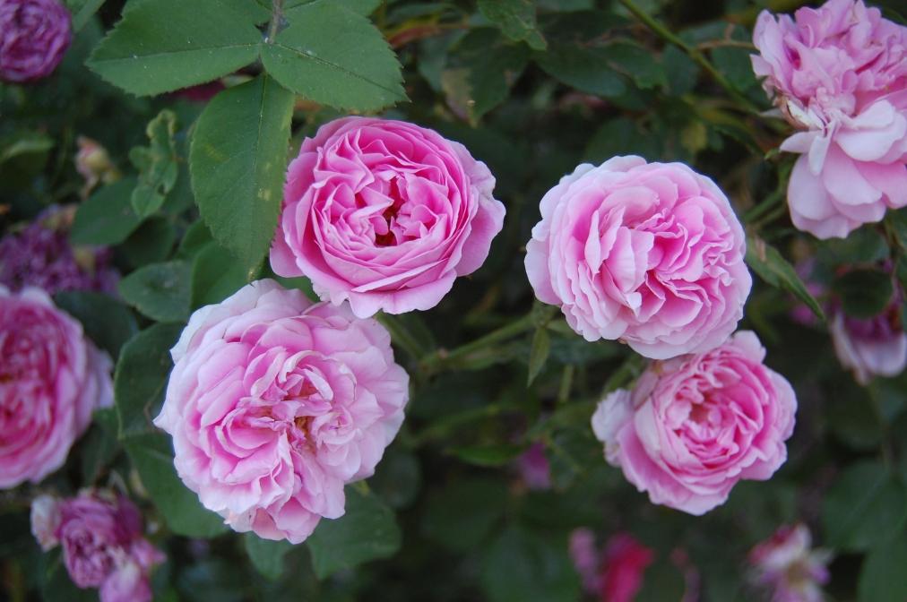 Last night's roses